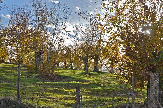 Castaños en la Sierra de Aracena.