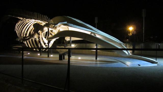 IMG_6783 Chad the SBMNH whale bones