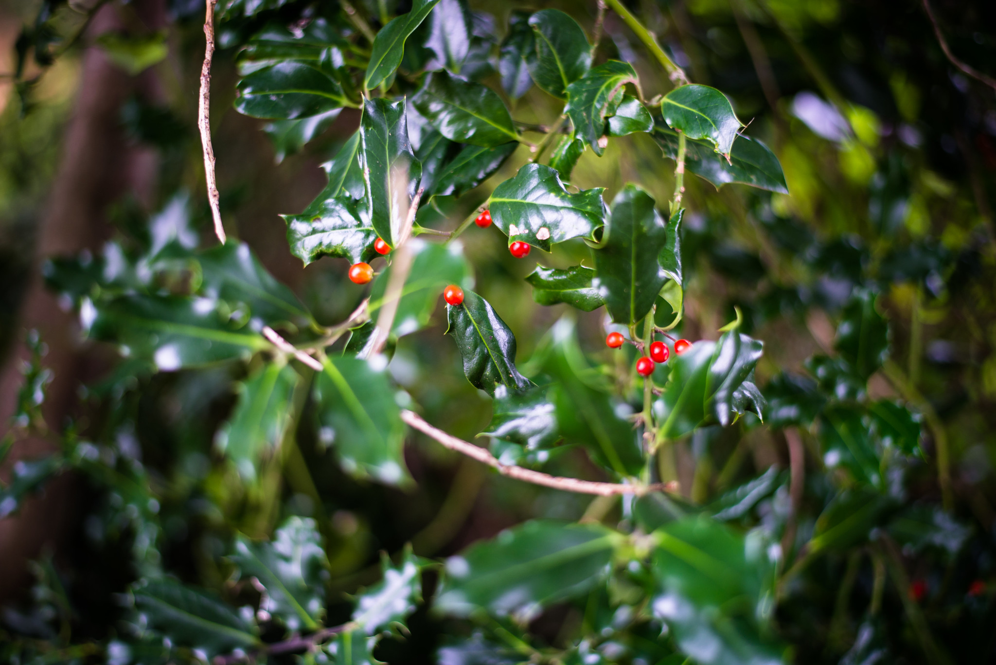 The Holly Is Out