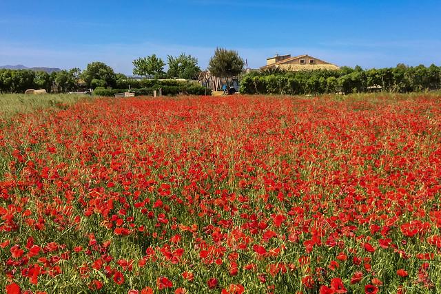 Poppy flowers from Son Bosc (Muro, Mallorca, Spain)-1255