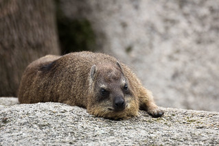 rock hyrax | by Cloudtail the Snow Leopard