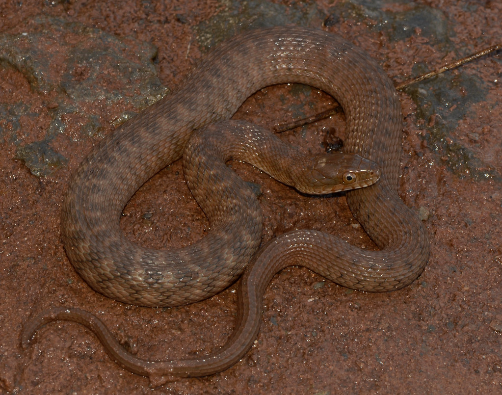 Concho River Water Snake