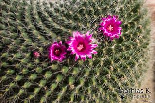 Kaktusblüte | Projekt 365 | Tag 296