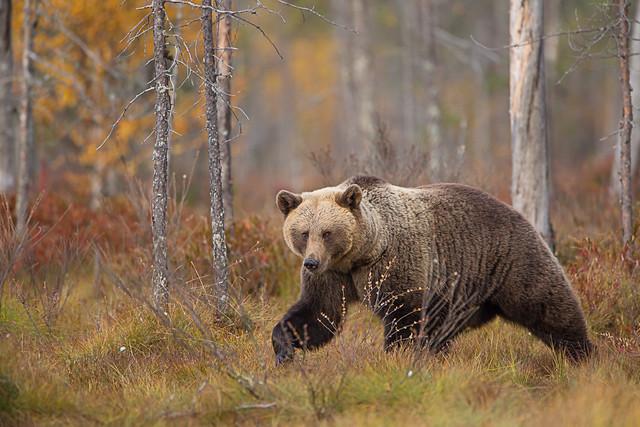 Brown bear from finnish taiga
