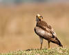 White-eyed buzzard #112 by Ramakrishnan R - my experiments with light