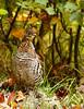 Ruffed Grouse 56  (Bonasa umbellus) by egdc211