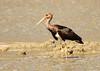 Black Stork- Juvenile by Thomas.Gut