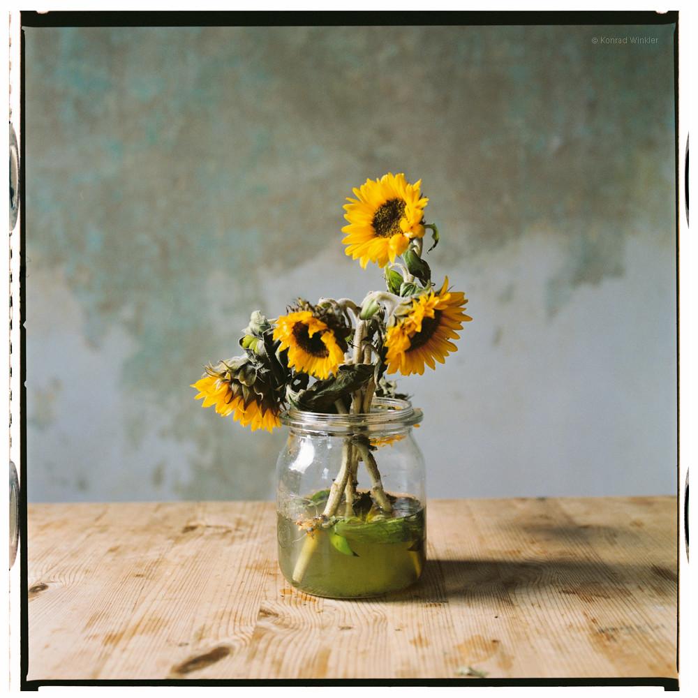 Gestutzte Sonnenblumen