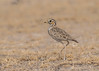 Three-banded Courser by tickspics 