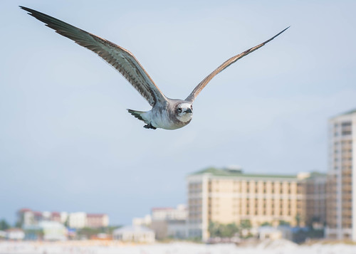 Laughing Gull, Clearwater Beach Pier 60 | by Philip N. Cohen