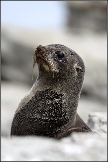Rise of the Fur Seal