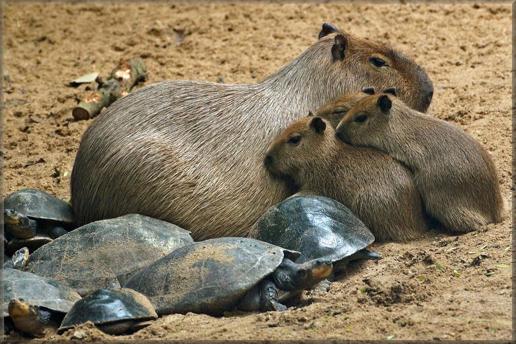 Capybaras and River Turtles | Martien Uiterweerd | Flickr