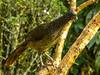 Ortalis columbiana (Colombian Chacalaca / Guacharaca) by PriscillaBurcher