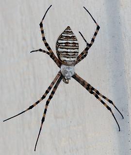 Spider Brown Stripe Black Bottom Images