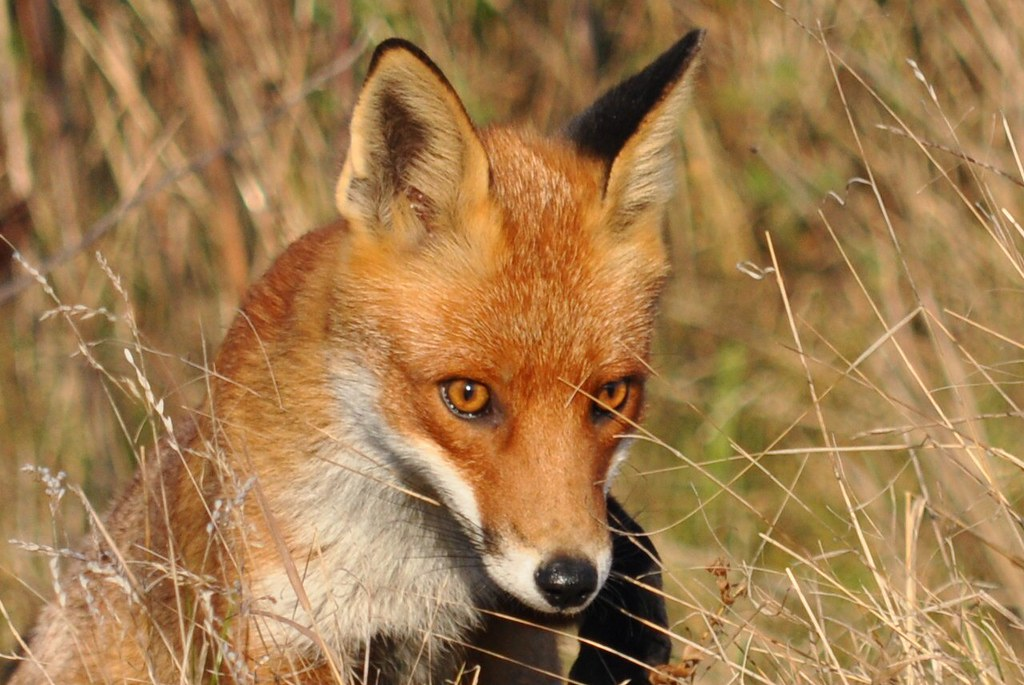 A lesser seen member of the family group, a vixen I think.