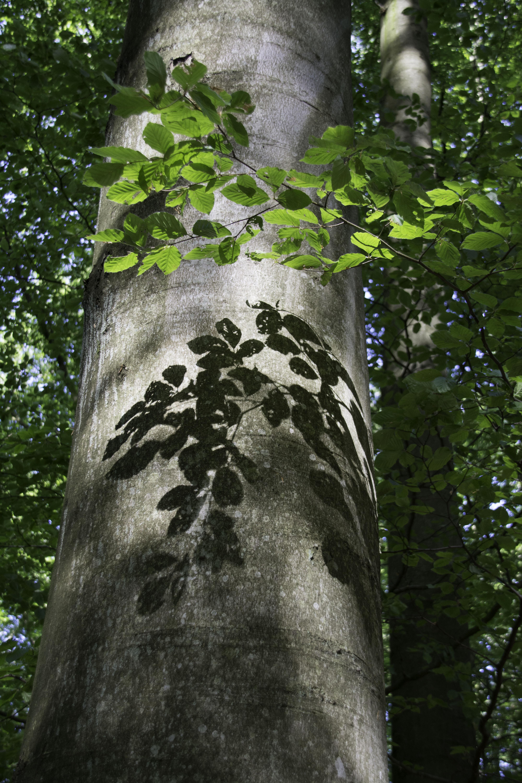 beech woods Kullaberg