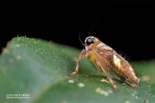 Leafhopper nymph (Coelidiinae) - DSC_9573