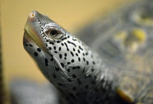 diamondbackterrapin reptile turtle epz bayou