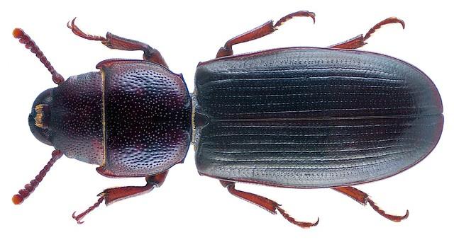 Tenebroides mauritanicus (Linnaeus, 1758)
