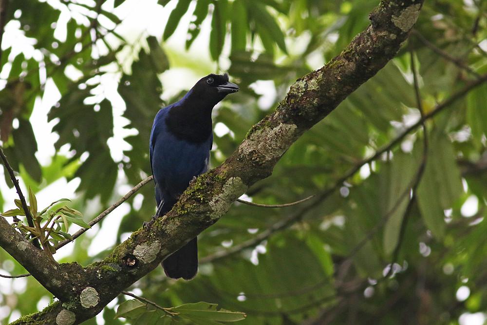Azure Jay (Cyanocorax caeruleus)