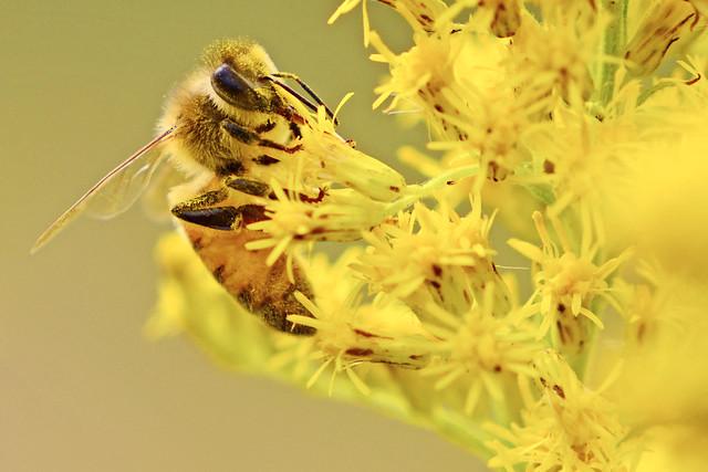 Honey Bee on Canada-Goldenrod / セイタカアワダチソウにとまるミツバチ