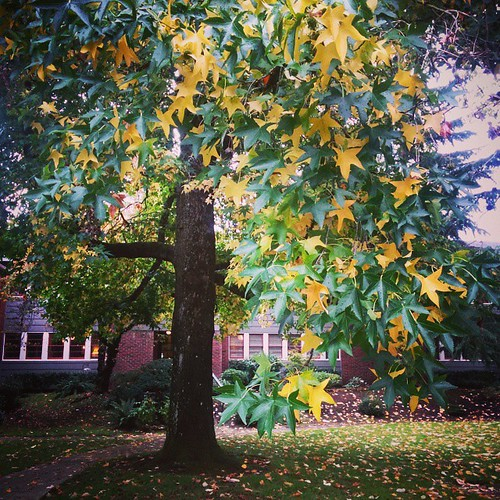Tortoiseshell tree. Every leaf is making its own color decision today. #fall #autumn #portland