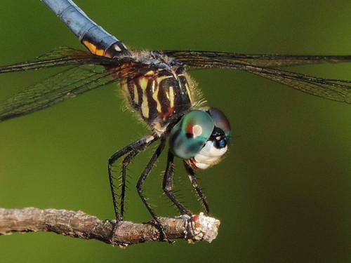 pachydiplaxlongipennis bluedashermale libellulidaeskimmerfamily inthegreenbeltpark