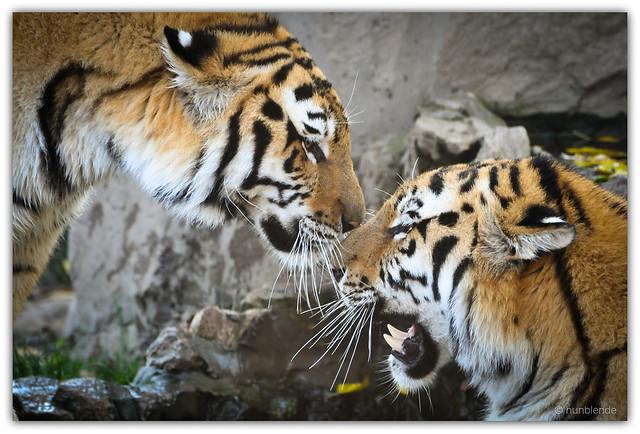 Tiger's body language