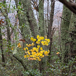 Yellow leaves among the lichen