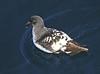 Cape petrel also called Cape pigeon or pintado petrel, Daption capense by Maureen Pierre