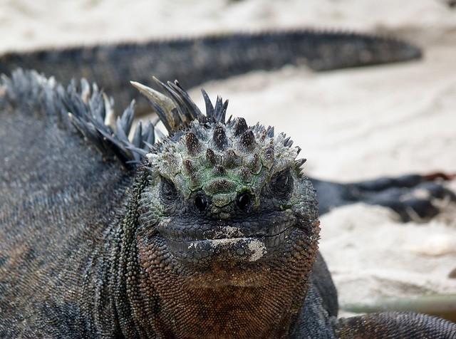 Iguana marina en Isabela (Islas Galápagos)