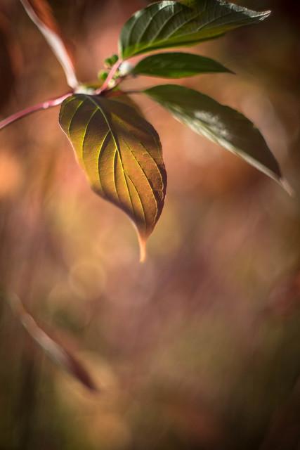 Backlit leaf, Wisley