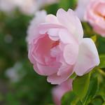 Rose, Peach Blossom, バラ, ピーチ ブロッサム,