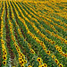 Greece, Macedonia, Vevi village, sunflower field by Macedonia Travel & News