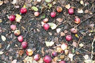Crabapple love.  A song by Captain and Tenile | by Hammerin Man