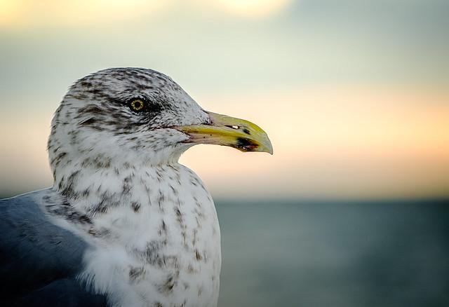 Sir Reginald Gull