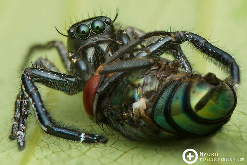 Heavy Jumper (Hyllus sp. ♂) with blowfly prey | by PF T.J.