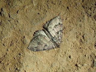 Tissue moth. Spider Hole. | by nicholaschipchase