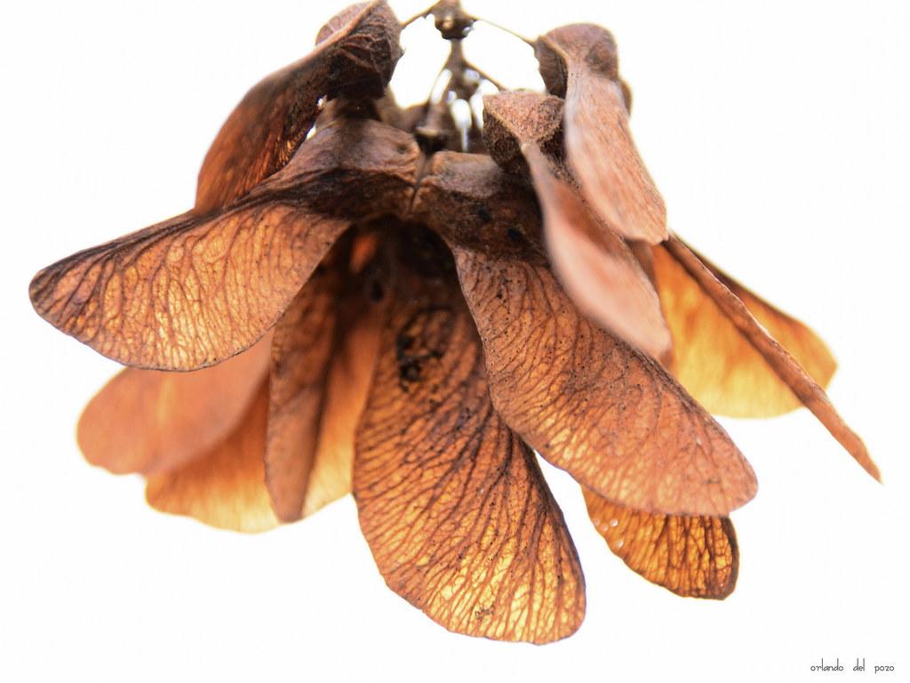 ahornfrucht - maple seed highkey | orlando del pozo | Flickr