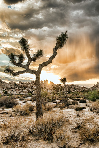 Silent Beauty, Joshua Tree National Park   by Christopher.Michel