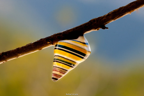 Liguus virgineus / Candy cane snail