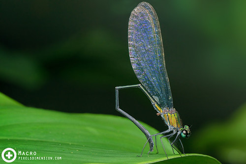 Common Flashwing- Vestalis amethystina ♂   by PF T.J.