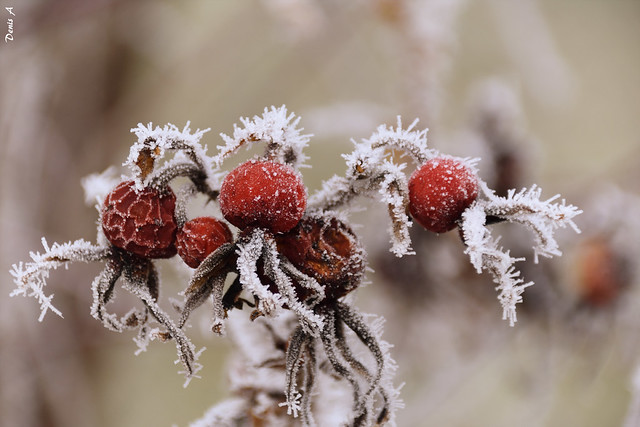 Baies givrées - Frosted berries
