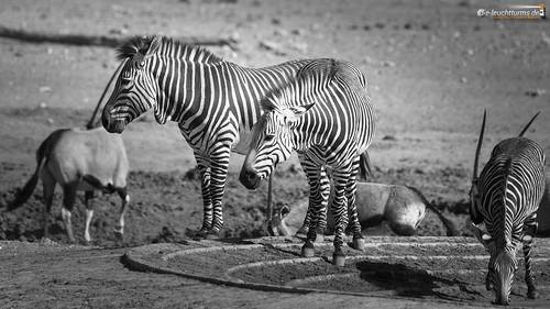 16x9 africa afrika bergzebra equidae equuszebra equuszebrahartmannae etoshanationalpark hartmannbergzebra namibia perissodactyla pferde säugetiere unpaarhufer vertebrata vertebrates wirbeltiere mammals monochrome mountainzebra kunene