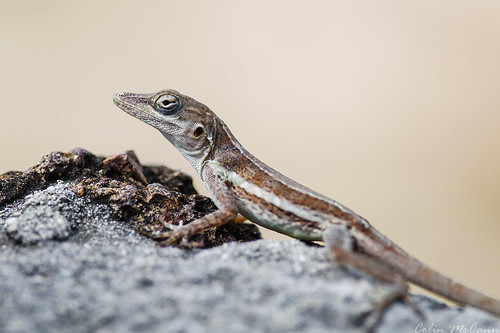 saint st reptile lizard 300mm anole nikkor f4 afs barths sbh barthelemy tffj