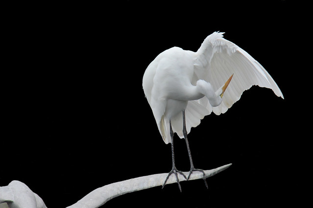 The contortionist Egret.