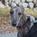 Greyhound Adventures at Minuteman State Park, Lexington MA, Oct 10th 2014
