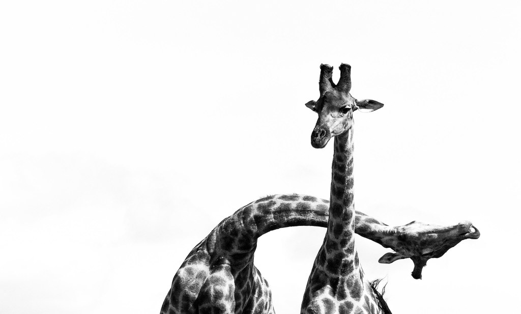 Giraffe necking b/w