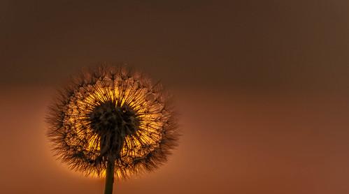 dandelion sunset plant
