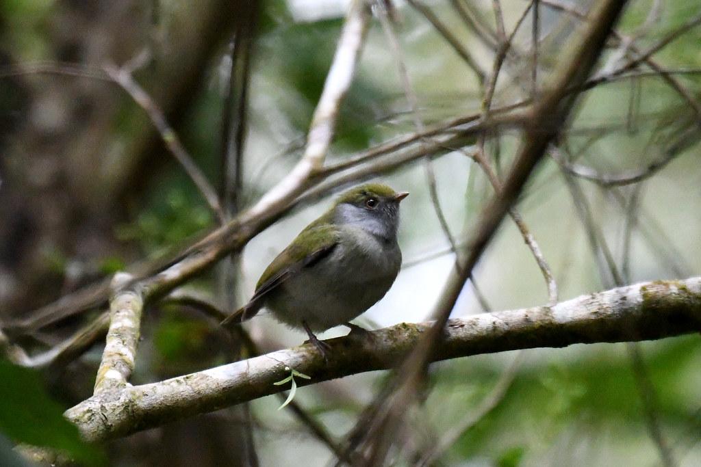 Pin-tailed Manakin (Itororó Eco Lodge)
